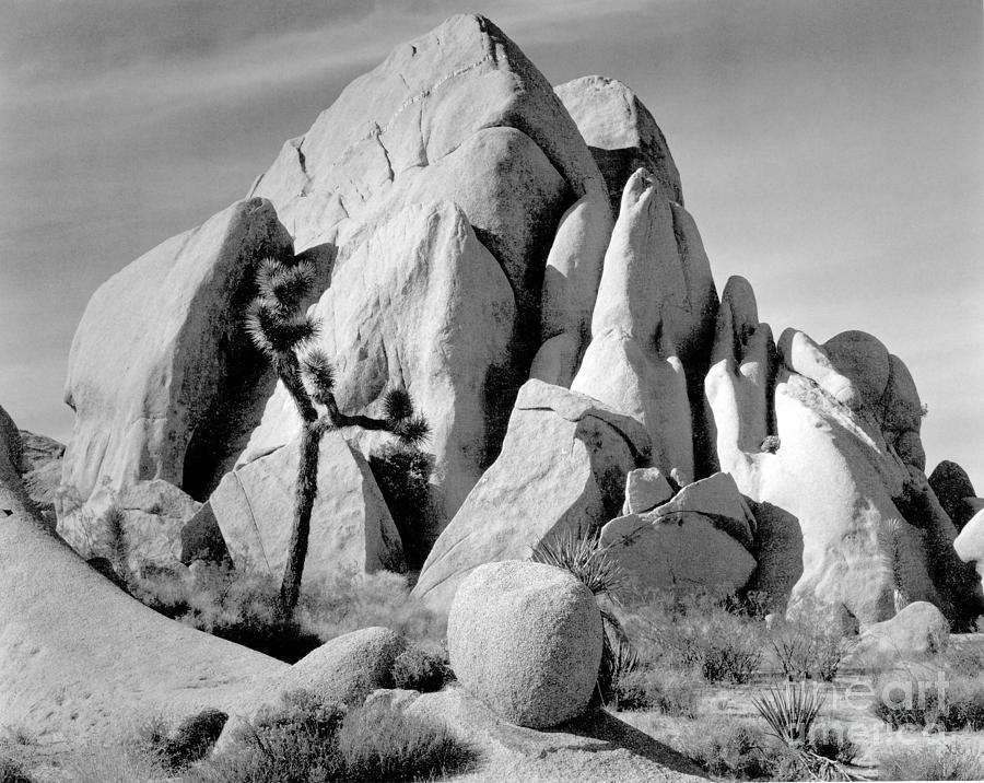 In Joshua Tree National Monument 1942 Photograph by Ansel Adams