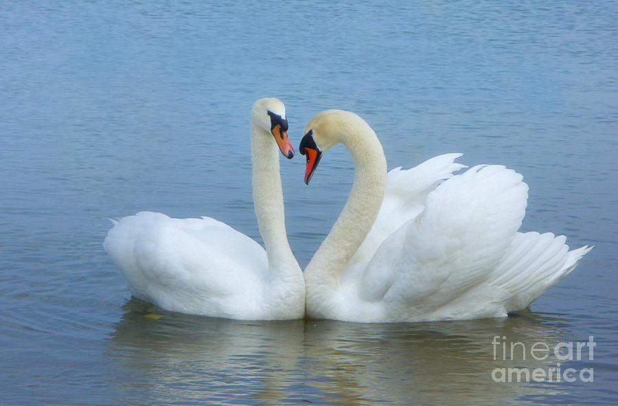 Swans Photograph - In Love                         by Marlena Nowaczyk
