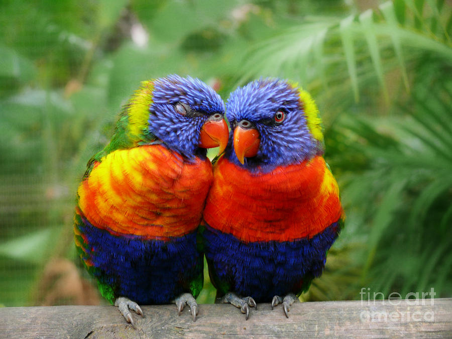 Parrots Photograph - In Love Lorikeets by Peggy Franz