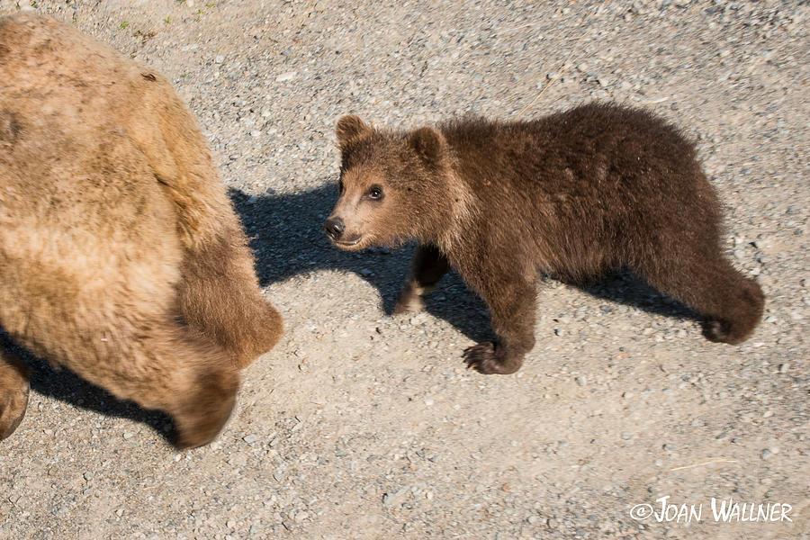 Alaska Photograph - In moms footsteps by Joan Wallner