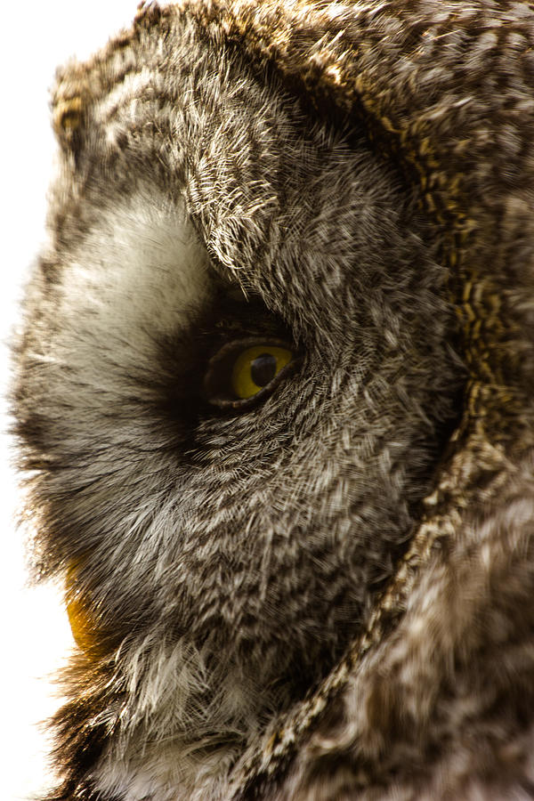 Owl Photograph - In Profile by Gerard Pearson