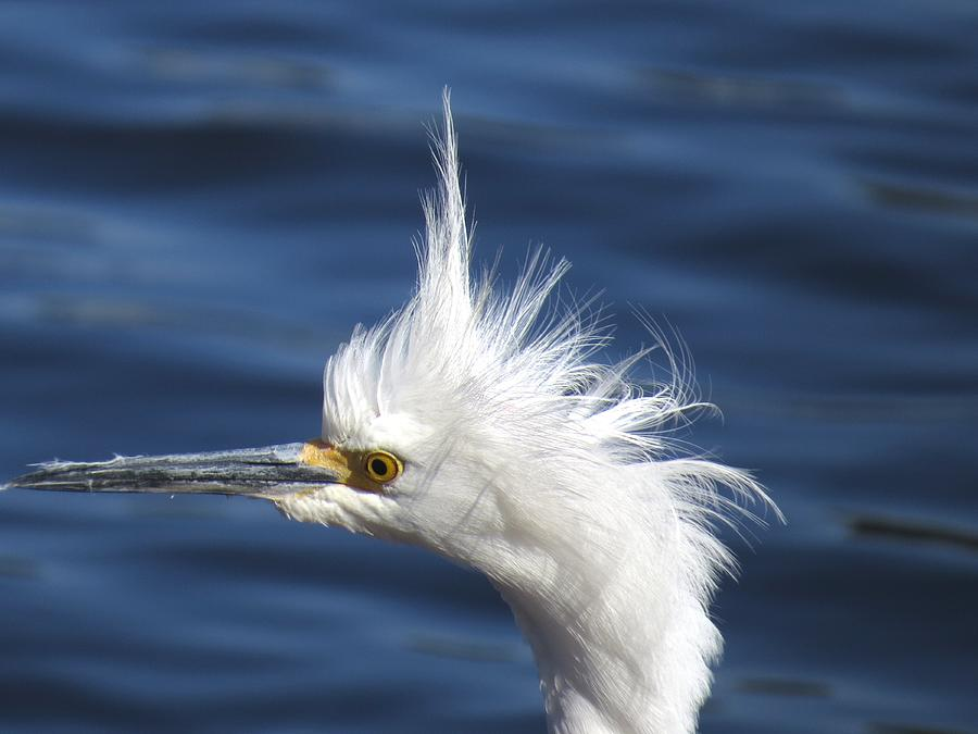 Snowy Egret Photograph - In Shock by Zina Stromberg