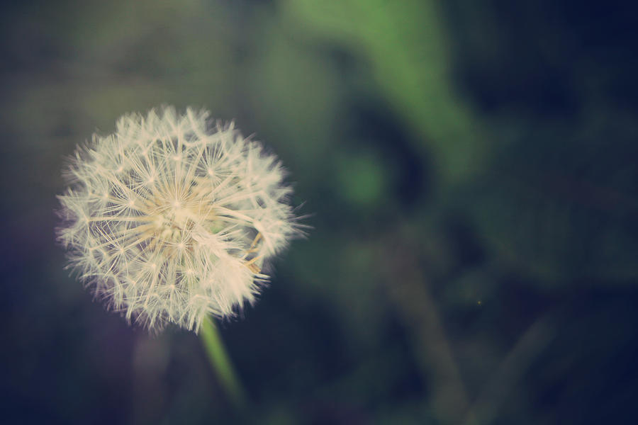 Dandelions Photograph - In The Afterglow by Laurie Search