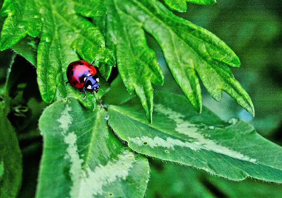 Ladybug Photograph - In The Clover by JC Findley