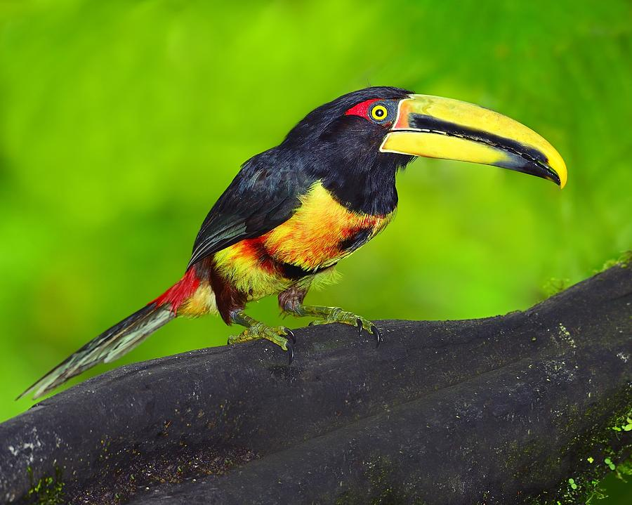 Pale-mandibled Aracari Photograph - In The Forest by Tony Beck