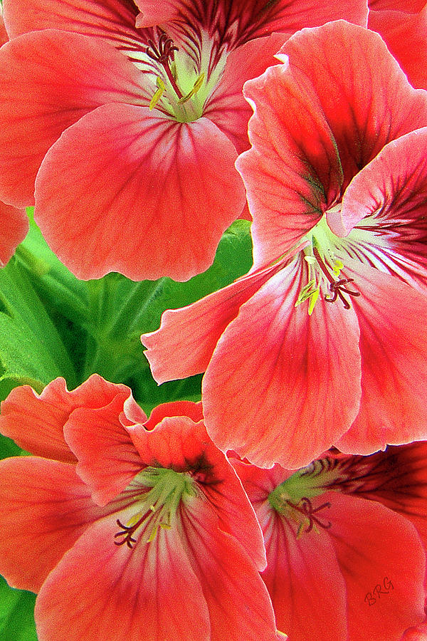 Red Photograph - In The Garden. Geranium by Ben and Raisa Gertsberg