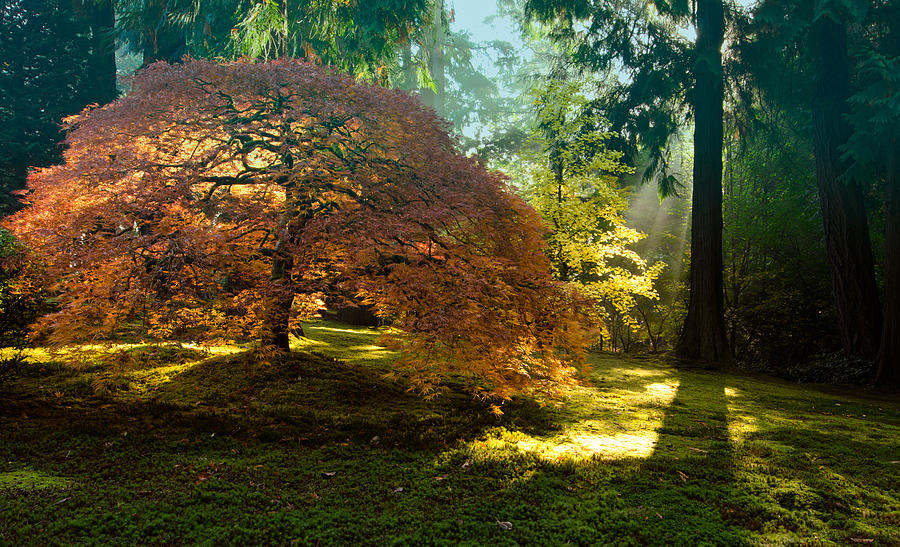Japanese Maple Photograph - In The Gentle Autumn Light by Don Schwartz