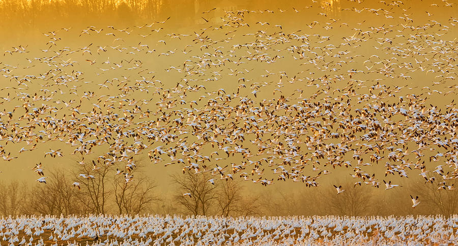 Geese Photograph - In The Magic Golden Would by David Hua