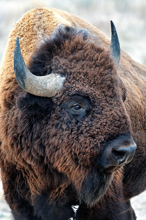 Bison The Mighty Beast Bison Das Machtige Tier North American Wildlife by OLena Art by OLena Art Brand