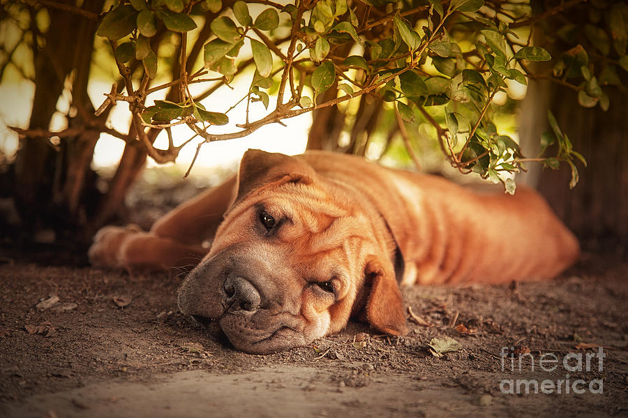 Dog Photograph - In The Shade by Jane Rix