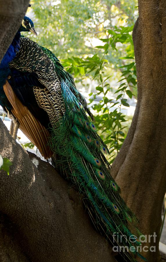 Peacock Photograph - In The Shadows by Peggy Hughes