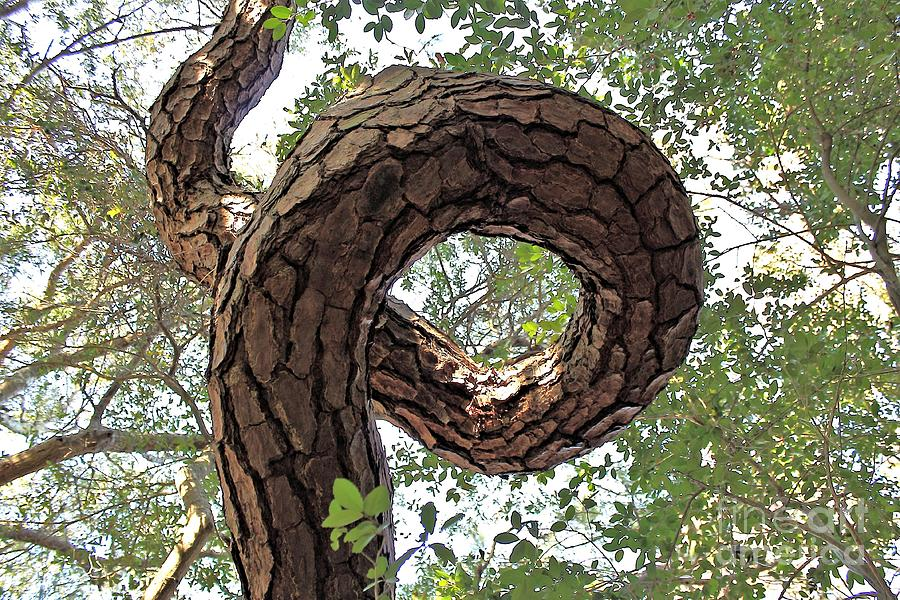 Pine Photograph - In The Spiral Of Life Always Reach For The Sky by Kenny Sampson