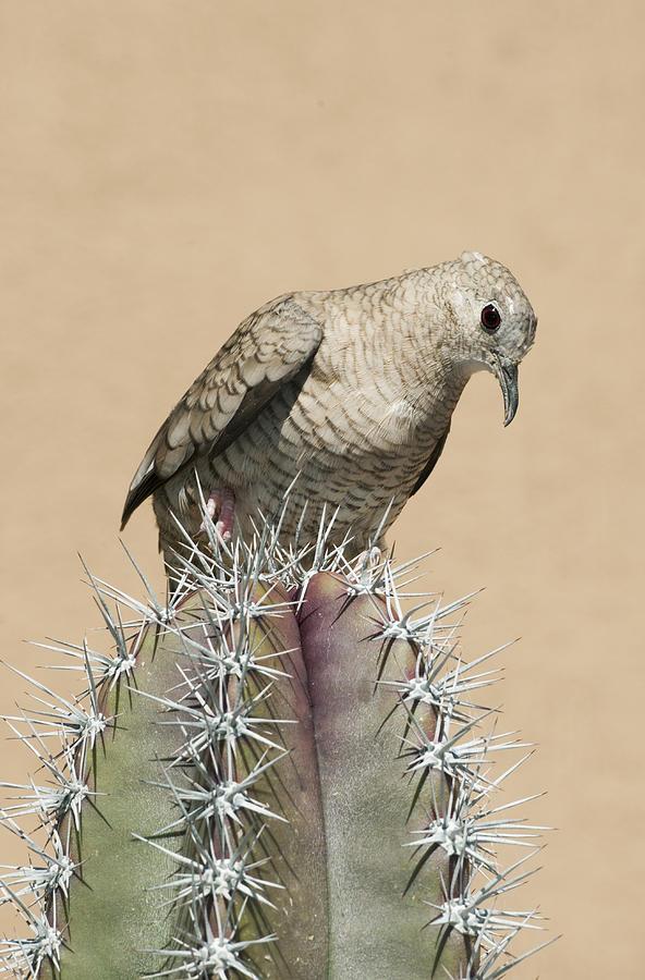 Inca Dove On Cactus Saguaro Np Arizona Photograph by Kevin Schafer