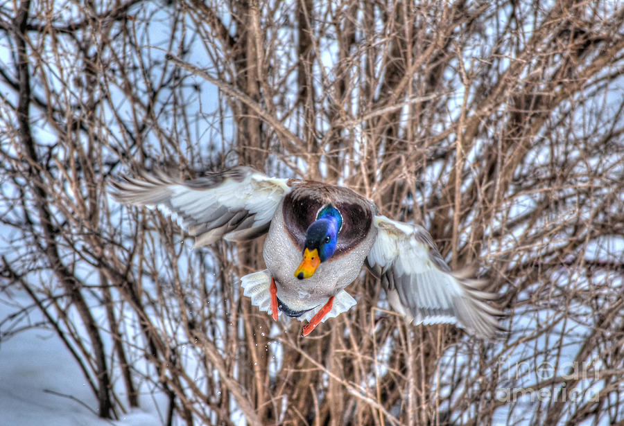 Duck Photograph - Incoming by Skye Ryan-Evans