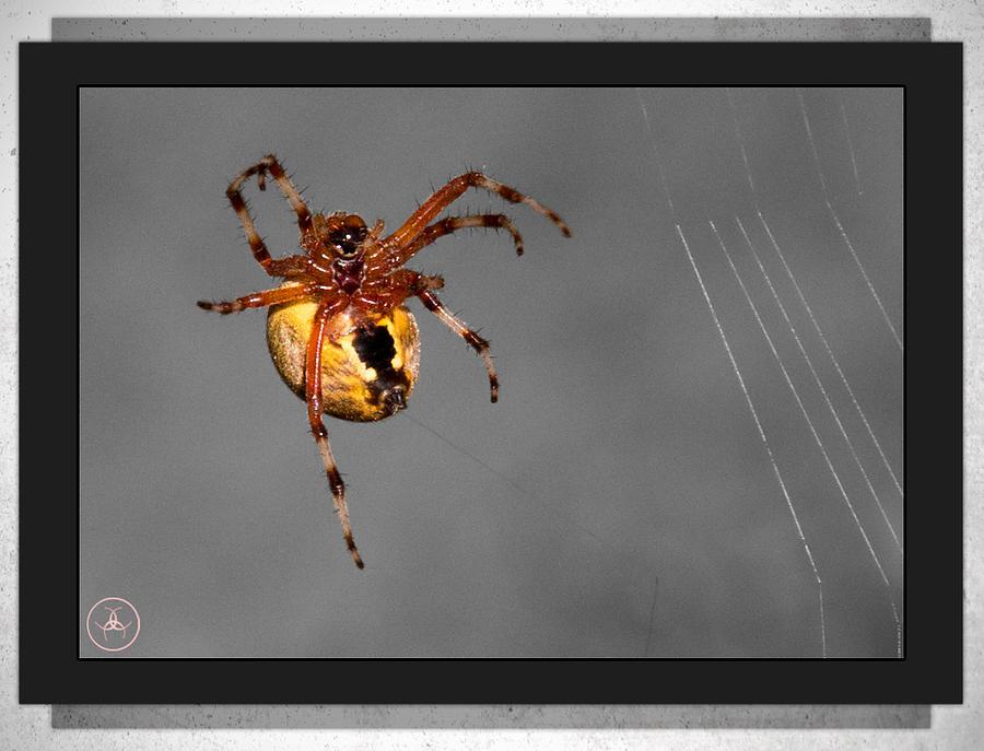 Spider Photograph - Incy Wincy by Christine Nunes