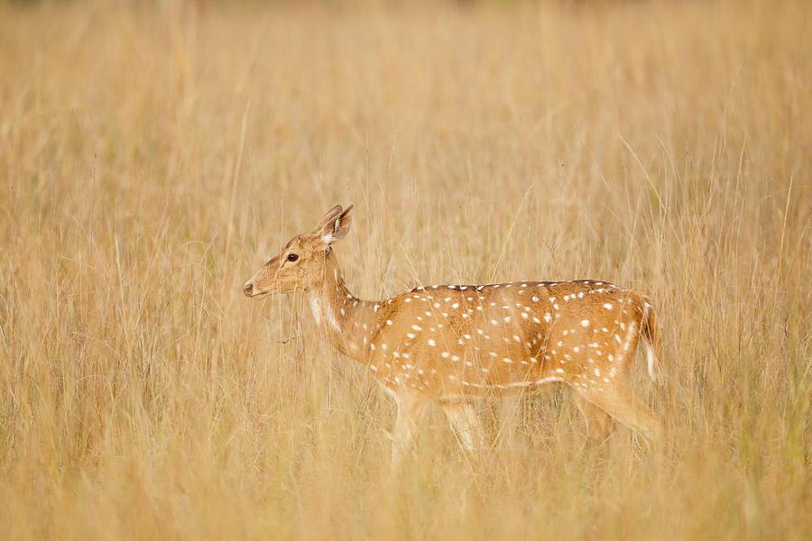 India, Madhya Pradesh, Axis Deer At Photograph by Westend61