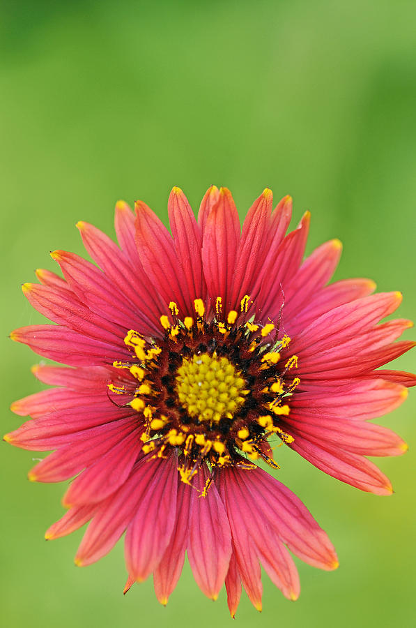 Wildflower Photograph - Indian Blanket by Keith Gondron