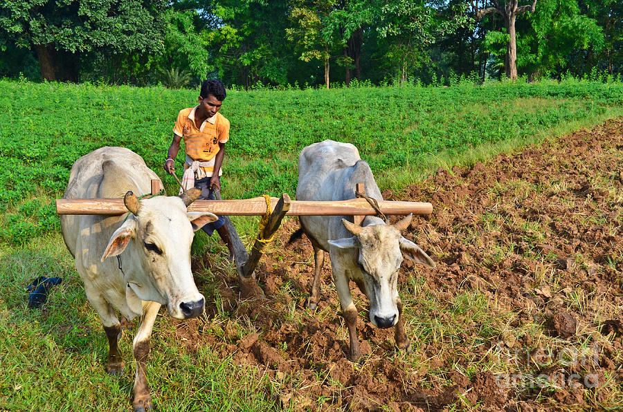 Indian Farmer Plowing With Bulls Photograph by Image World