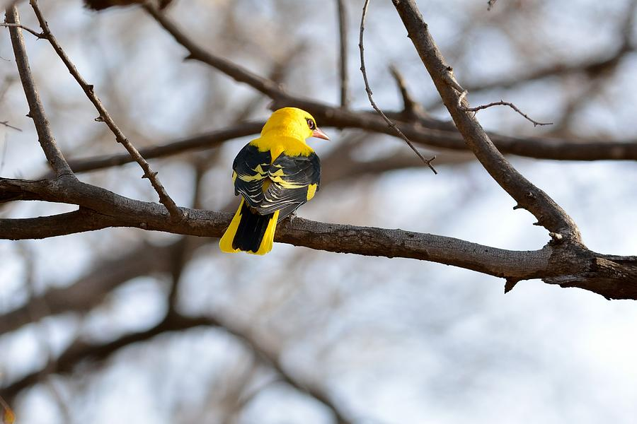 Oriolus Kundoo Photograph - Indian Golden Oriole by Fotosas Photography