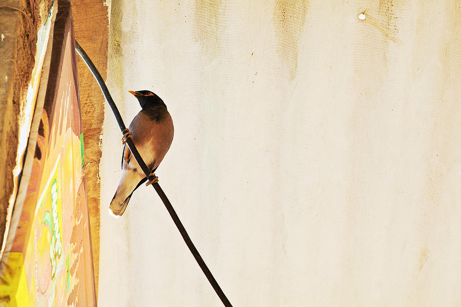 Horizontal Photograph - Indian Myna Comes To Dinner by Kantilal Patel