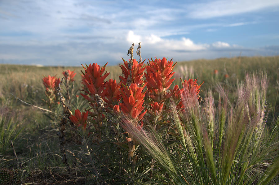 Flower Photograph - Indian Paintbrush by Frank Madia