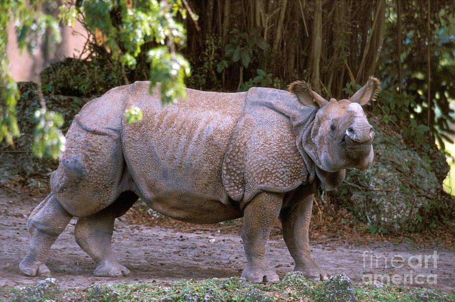 Indian Rhinoceros Photograph - Indian Rhinoceros by Mark Newman