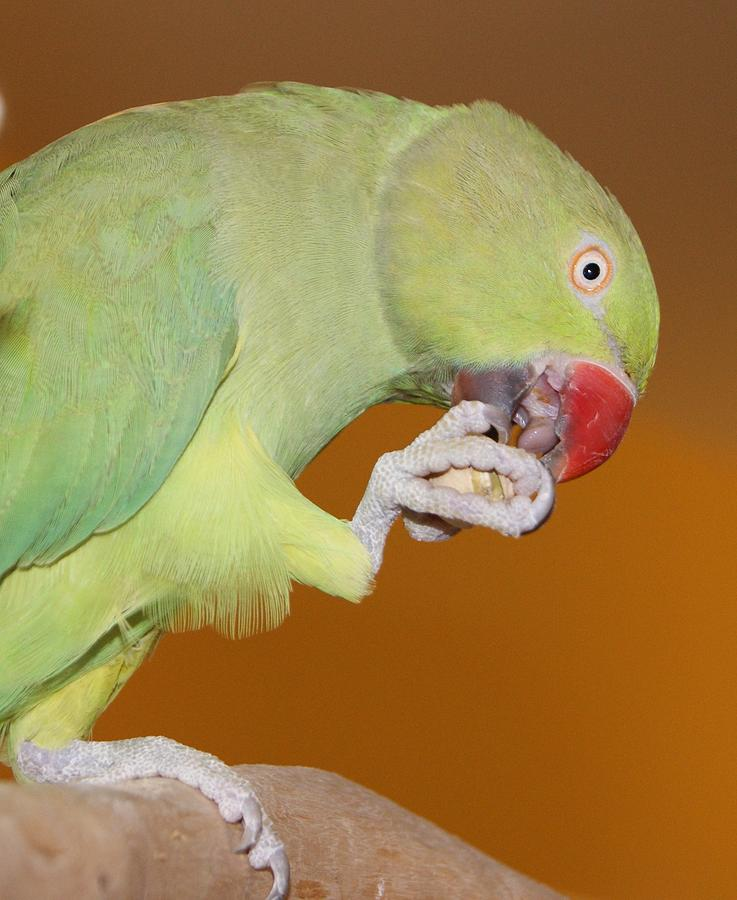 Indian Ringneck Parrot With Almond Photograph By Leigh Ann Hartsfield
