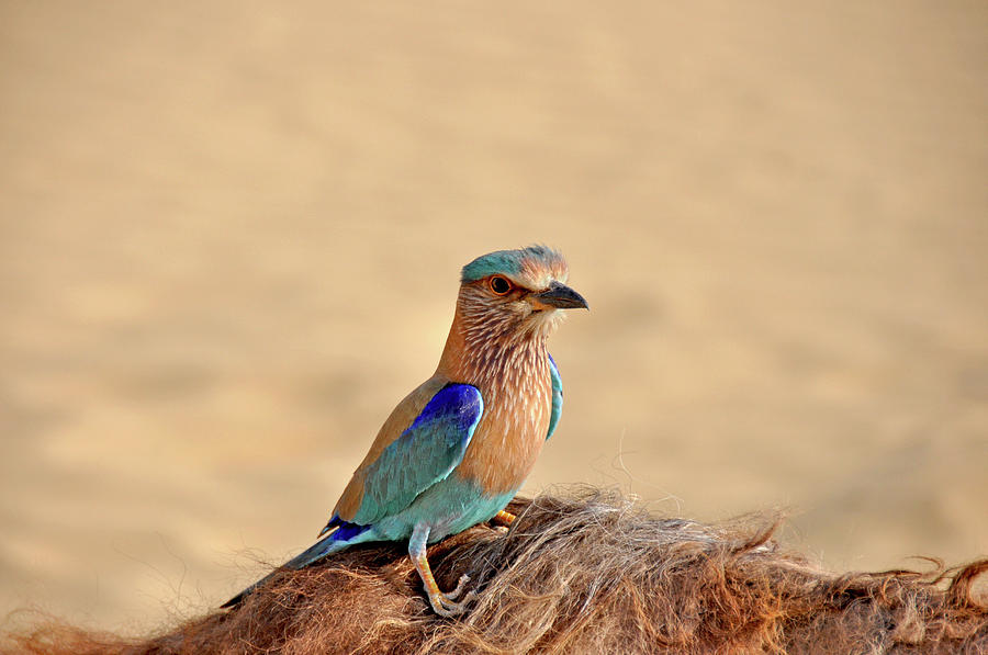 Indian Roller Catching Ride On Camel Photograph by Jessica Solomatenko
