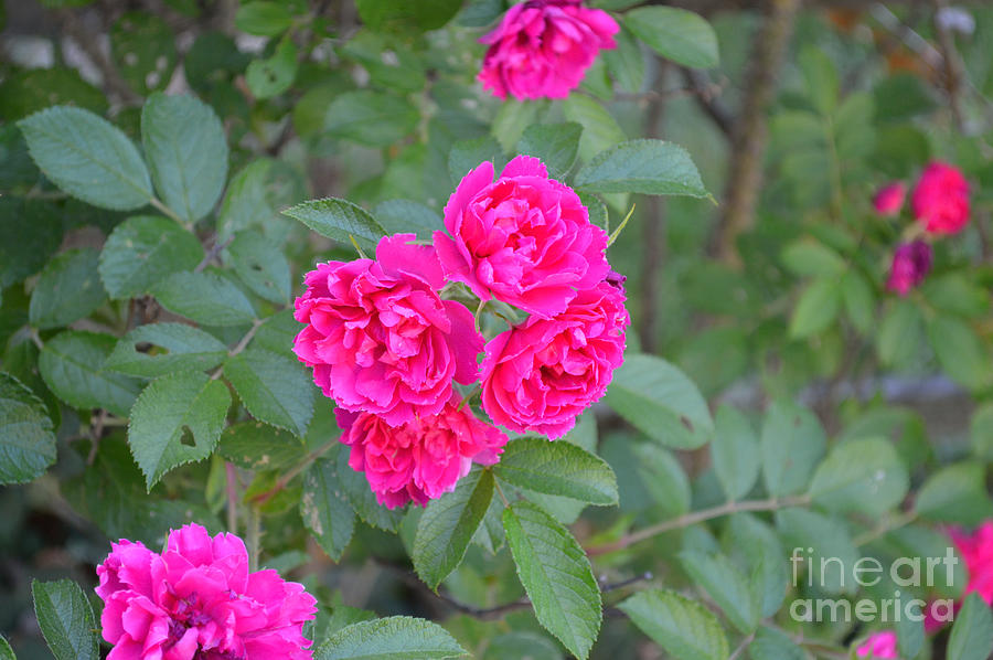Indiana Photograph - Indiana Roses by Alys Caviness-Gober