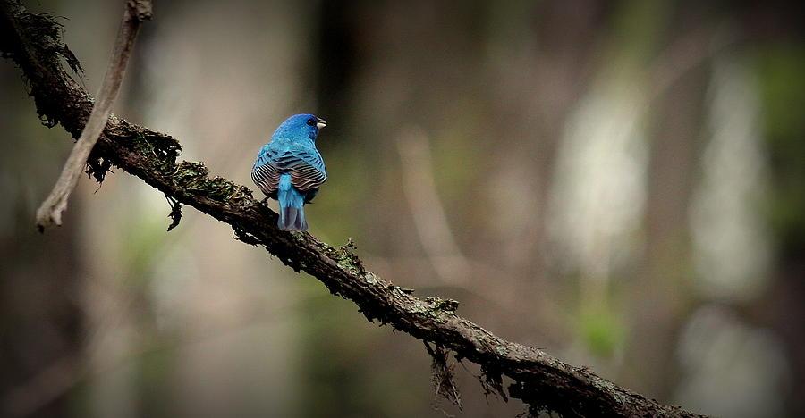 Bird Photograph - Indigo Bunting 2 by Rosanne Jordan