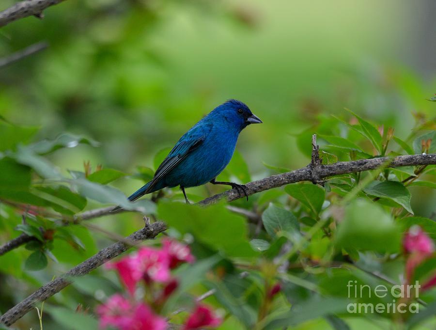 Bird Photograph - Indigo Bunting by Charles Trinkle