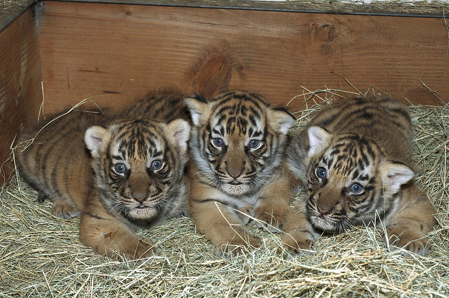 Indochinese Tiger Cubs In Sleeping Box Photograph By San