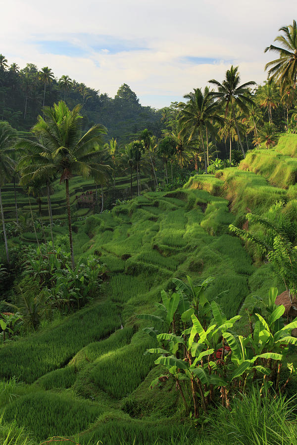 Indonesia, Bali, Rice Fields Landscape Photograph by Michele Falzone