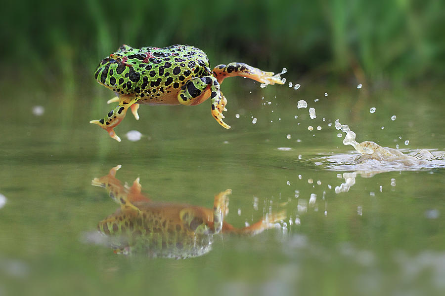 Indonesia, Riau Islands, Frog Jumping Photograph by Shikheigoh