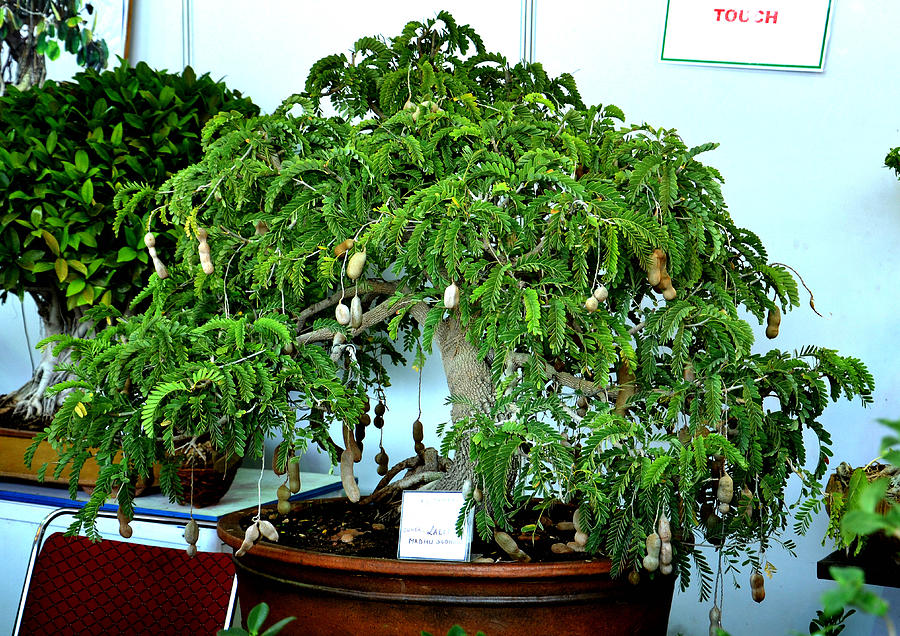 Pot Photograph - Indoor Bonsai by Johnson Moya