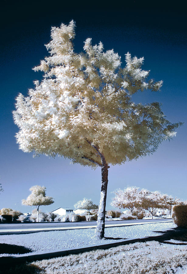 Infrared Photograph - Infrared Tree by Jim Painter