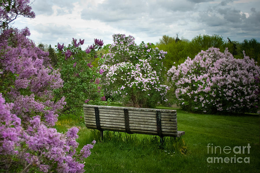 Lilacs Photograph - Inhale by Ken Marsh