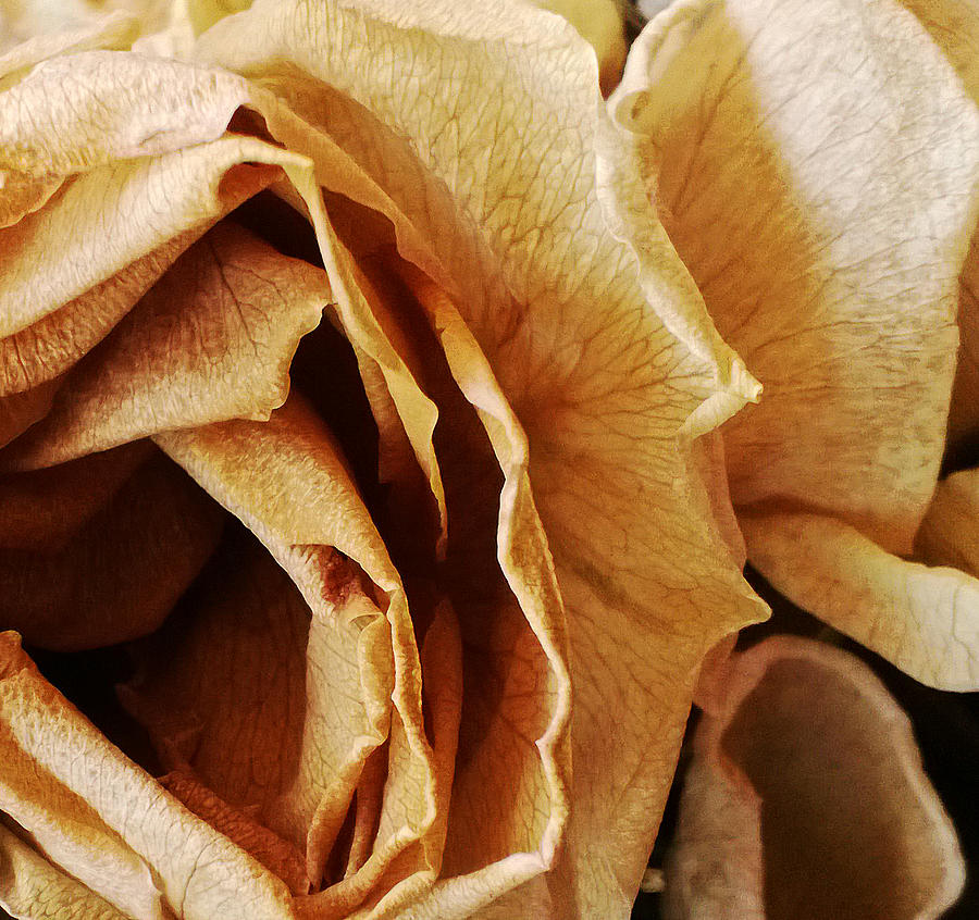 Rose Photograph - Inner Beauty by Tanya Jacobson-Smith