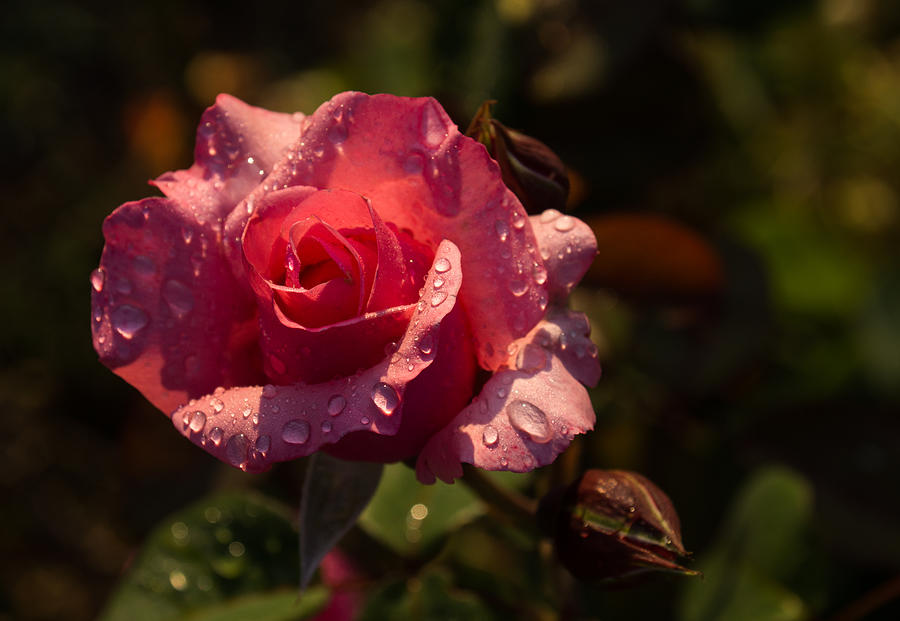 Pink Rose Photograph - Inner Glow In Pink by Georgia Mizuleva