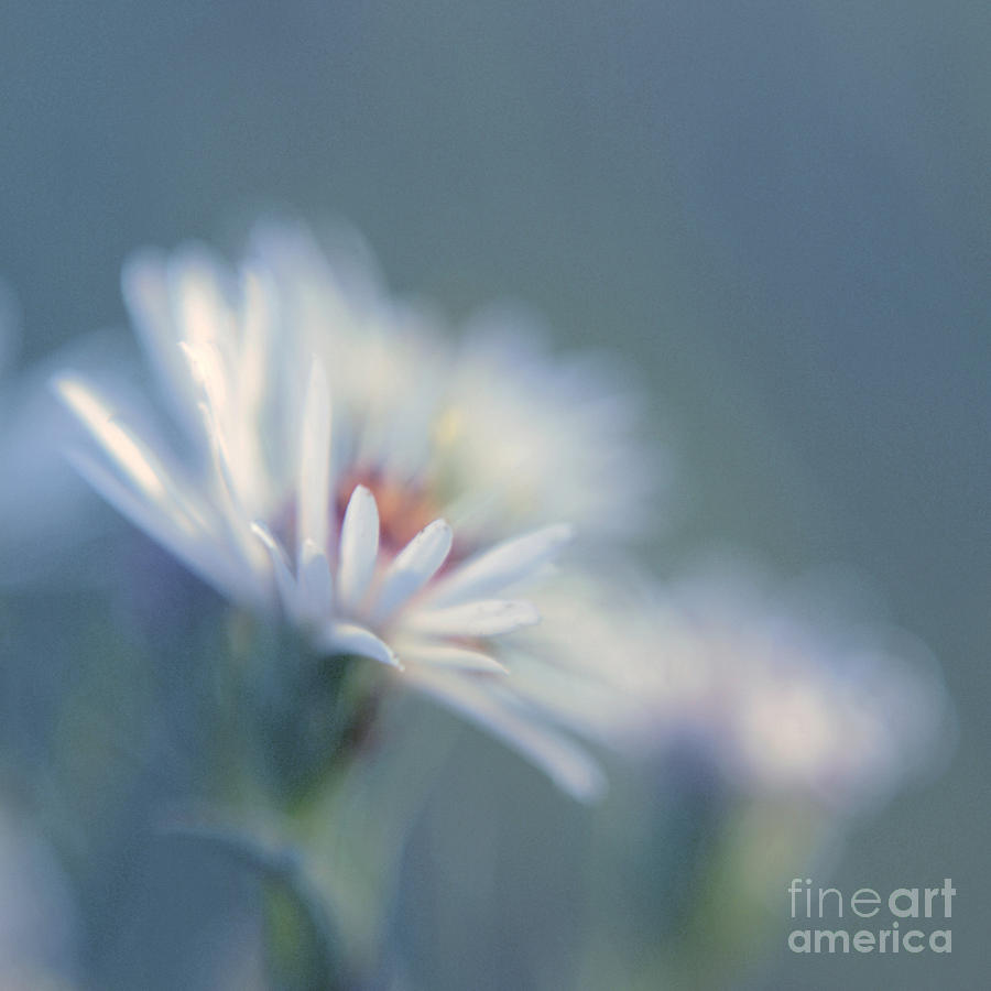 Daisy Photograph - Innocence 03c by Variance Collections