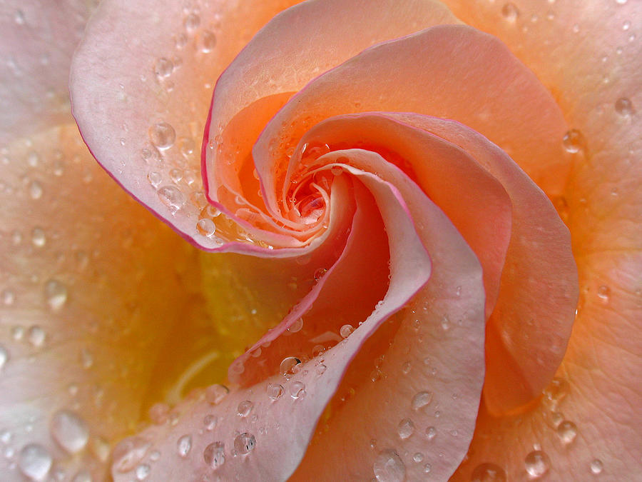 Rose Photograph - Innocent Beauty by Juergen Roth