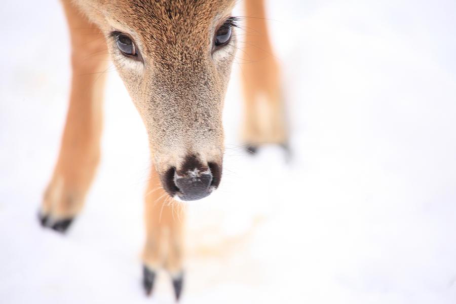 Deer Photograph - Innocent Eyes by Karol Livote