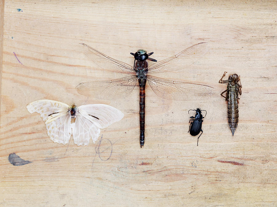 Insect Collection On Wooden Background Photograph by Johner Images