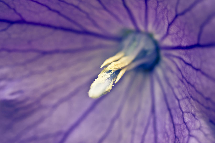 Floral Photograph - Inside A Balloon by Priya Ghose