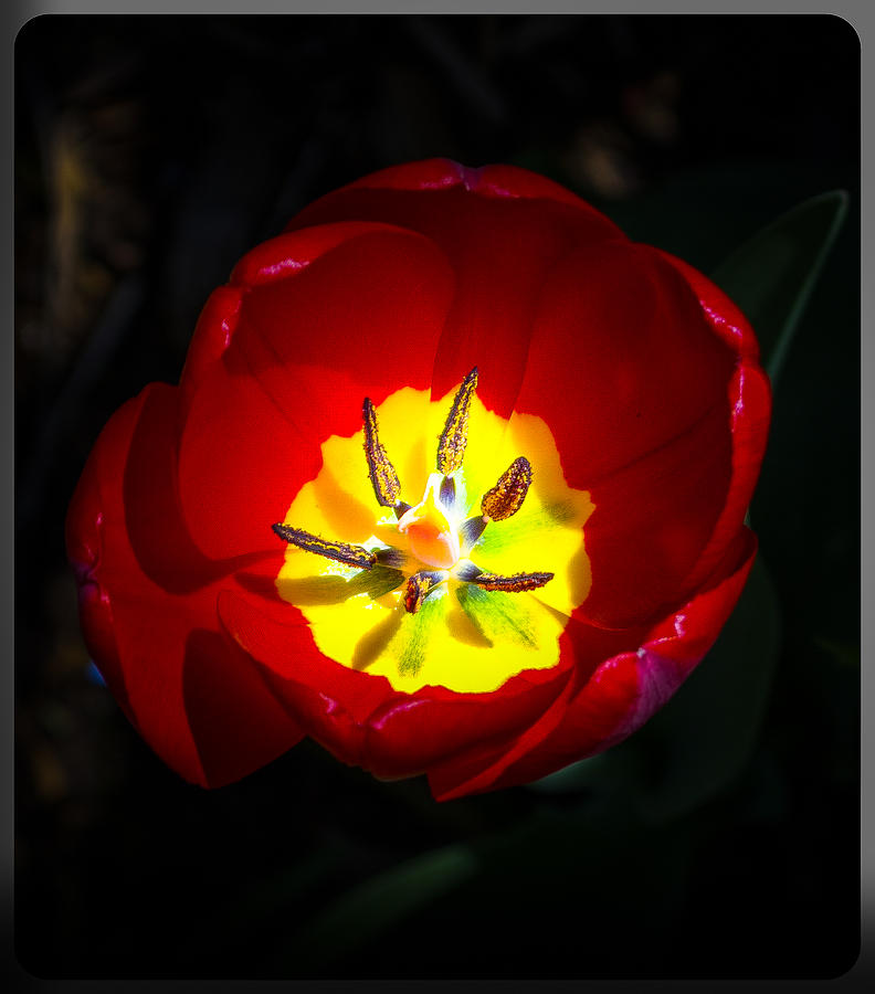 Inside A Tulip Photograph by Kenneth Cole