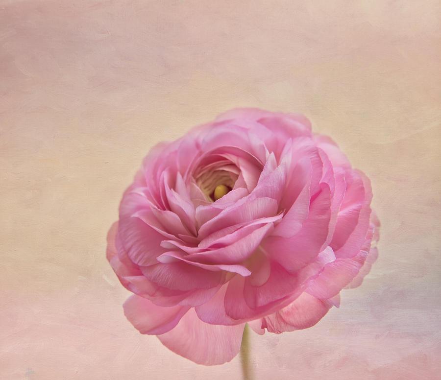 Rose Photograph - Inside by Kim Hojnacki