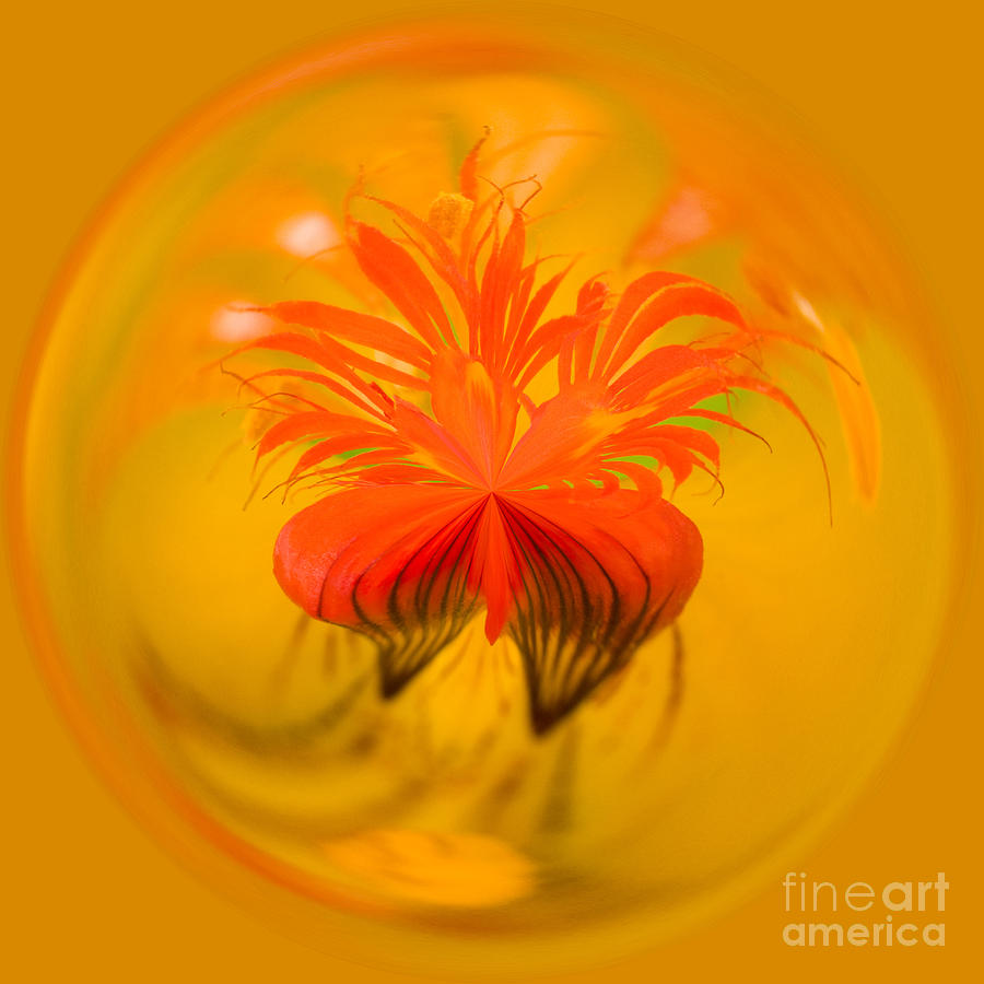 Bloom Photograph - Inside Out Nasturtium by Anne Gilbert