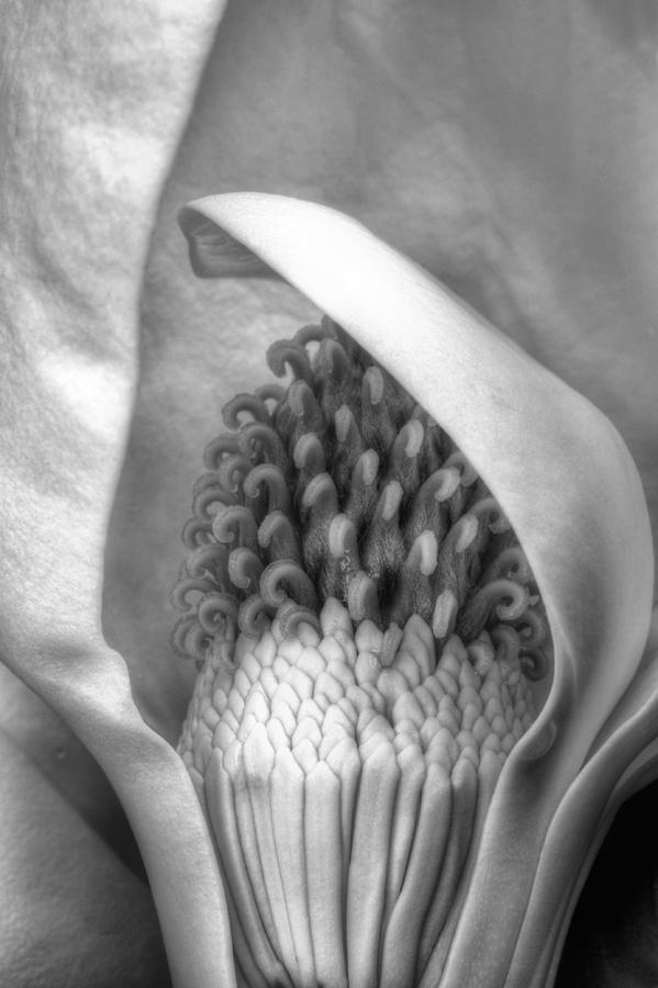 Magnolia Grandiflora Photograph - Inside The Flower by JC Findley