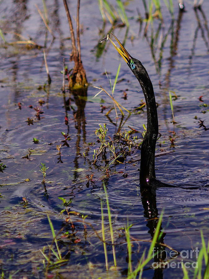 Anhinga Photograph - Inspecting His Snack by Tracy Knauer