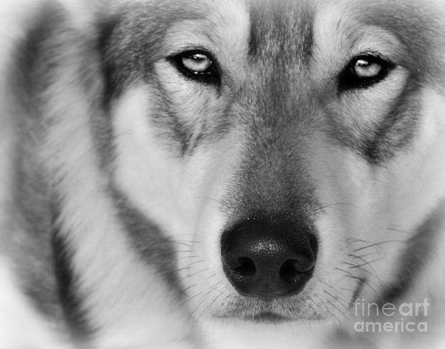 Intence sled dog black and white photograph by lila fisher wenzel